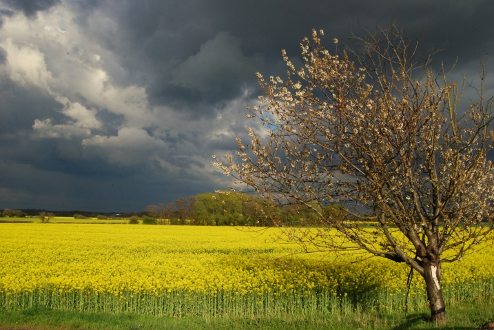 Oilseed Rape